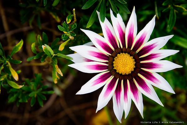Flowers of Victoria