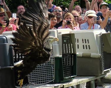 HooHaven Eagle Release