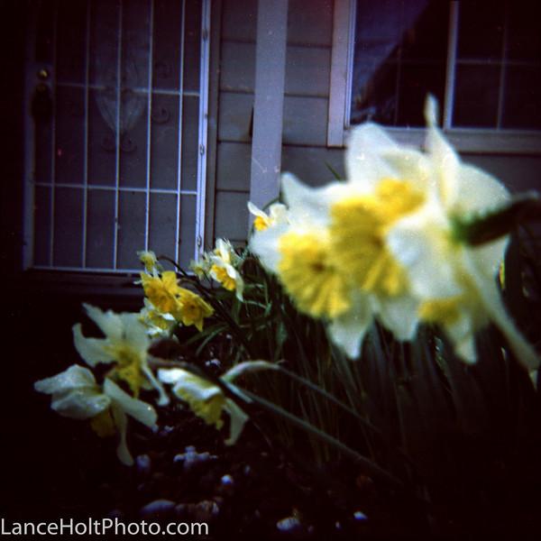 Diana paper lilies Scan20014.jpg