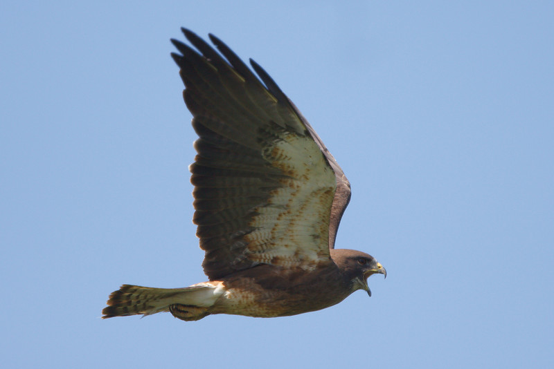 Swainson's Hawk dark morph adult (15) at Firebaugh, CA (07-18-2009)