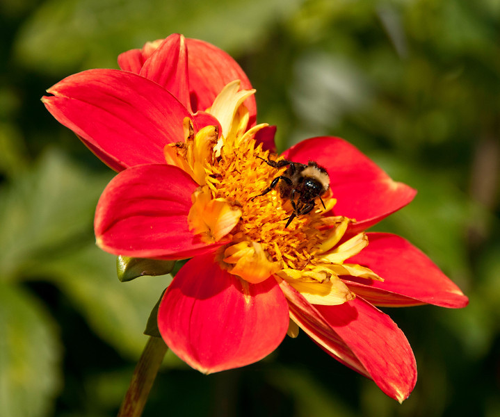 08 Jul 13.  Our local dahlia growers association annually plants a large garden of dahlias in front of and at the northern end of the Silverdale Post Office parking lot and another small garden in front of the Port Gamble Post Office. Both gardens are there to promote the association and encourage folks to grow these lovely large insect attracting flowers. Last year I had a great time shooting the flowers with their busy pollinators steadily at work. While we were attending a medieval program earlier this spring at Port Gamble, we purchased a couple dozen of the tubers in hopes that I could have my own shooting gallery next to the house sometime this summer. So far about half the tubers have sprouted so I'm hoping that I actually may have such an opportunity later in the summer. Meanwhile, I still have the two gardens to go visit and neither is very far away. This is a shot from last year at the Silverdale garden of a busy bee working to ensure that there would be another crop to shoot. I masked out the flower, then inverted the mask to allow for desired blurring of the background, and added just a bit of grain to the blurred background for improved contrast. D300s; 18 - 200; Aperture Priority; ISO 200; 1/800 sec @ f / 9.