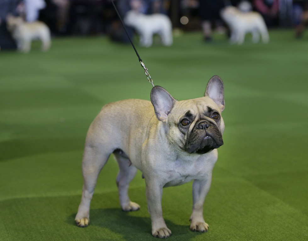 . A French bulldog competes at the Westminster Kennel Club show in New York, Monday, Feb. 16, 2015. (AP Photo/Seth Wenig)