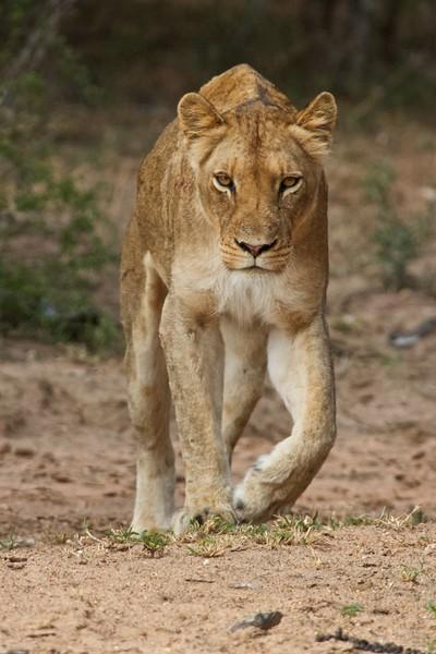 klein-lion-full.jpg