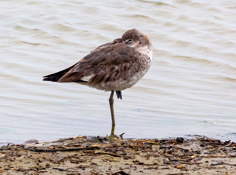 A Willet at rest ...