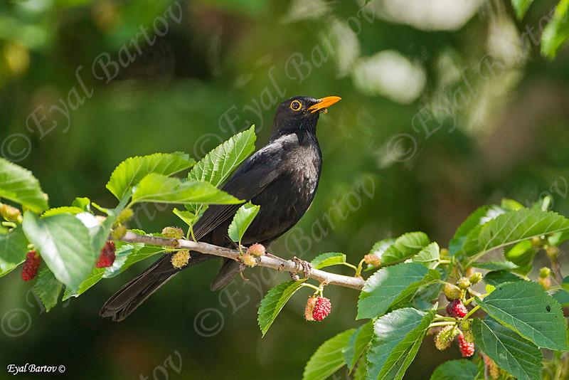שחרור - Common Blackbird (Turdus merula) 9