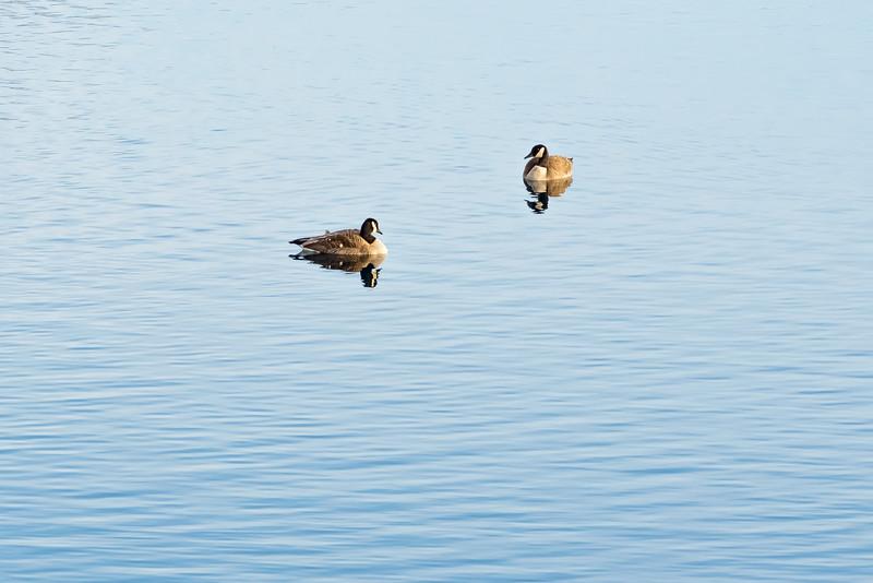 Geese 4-8003.jpg