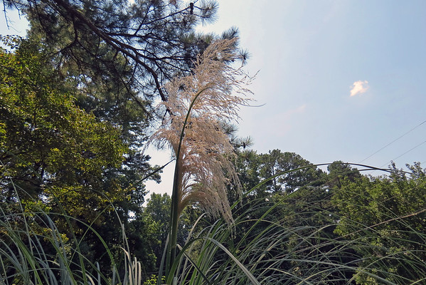 August 21:  My first Pampas Grass bloom .  .  .