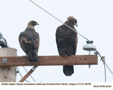 Golden EaglesP46758.jpg
