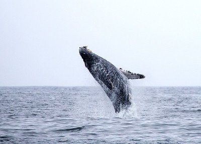 Monterey Bay Whale Watching July 2016