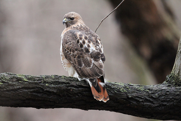 Red Tailed and Sharp Shinned