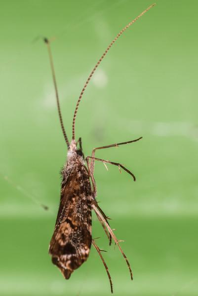 Unidentified Hydrobiosidae