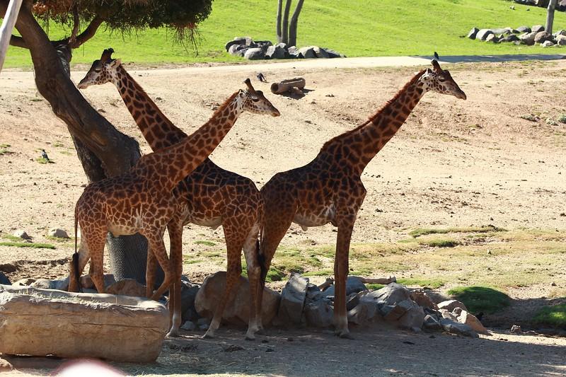 San Diego wild animal pakr 201700096.jpg