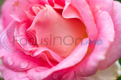 Tyler Rose Garden: Spring 2020 by Sarah A. Miller