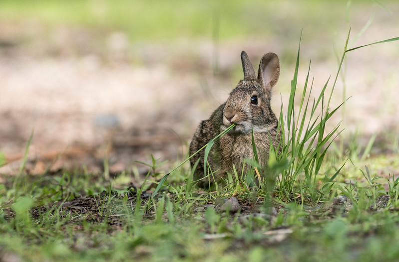 Cottontail rabbit Skogstjarna Carlton County MN DSC01928.jpg