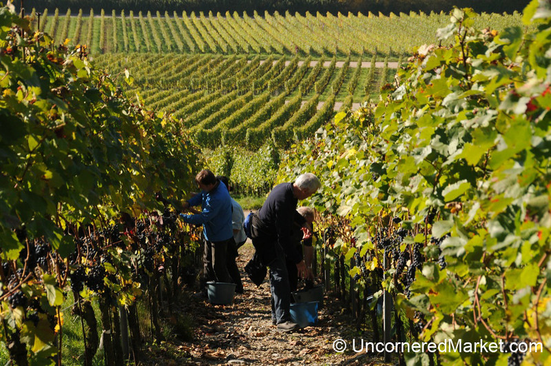 Symmetrical Rows of Vines - Thüngersheim, Germany