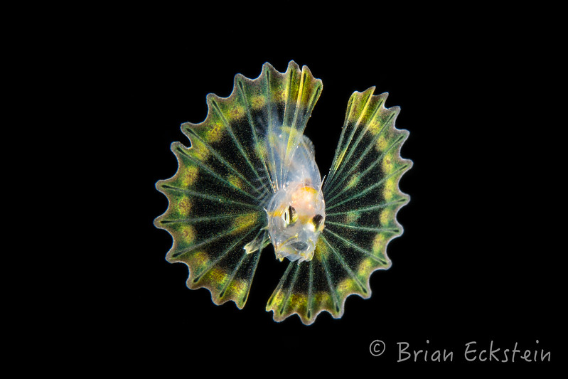 Lionfish Larvae