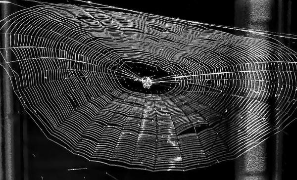 edderkoppnettshvkontrast2.jpg