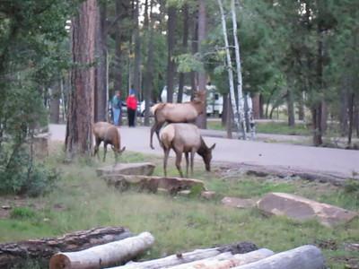 Elk / Camping