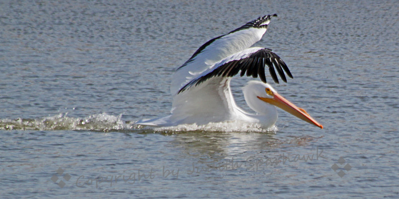 White Pelican ~ Photographed at Salton Sea State Recreation Area.