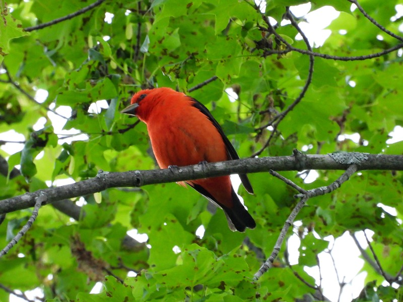 Scarlet Tanager , in Area 3 (Photo by Don McLeod)