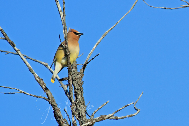 Cedar Waxwings seem to enjoy this little island