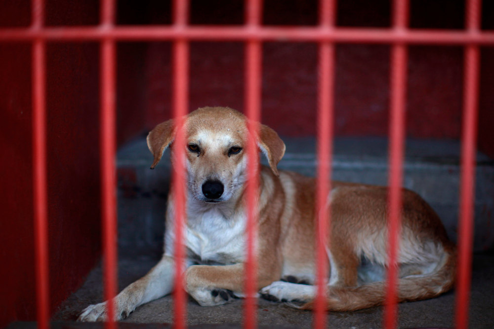 . One of the dogs that was caught near the site of four fatal maulings sits inside a cage at a city dog pound in Mexico City, Wednesday, Jan. 9, 2013. Authorities have captured dozens of dogs near the scene of the attacks in the capital\'s poor Iztapalapa district, but rather than calm residents, photos of the forlorn dogs brought a wave of sympathy for the animals, doubts about their involvement in the killings and debate about government handling of the stray dog problem. (AP Photo/Dario Lopez-Mills)