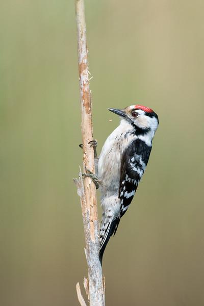 Lesser spotted woodpecker , Mindre hackspett