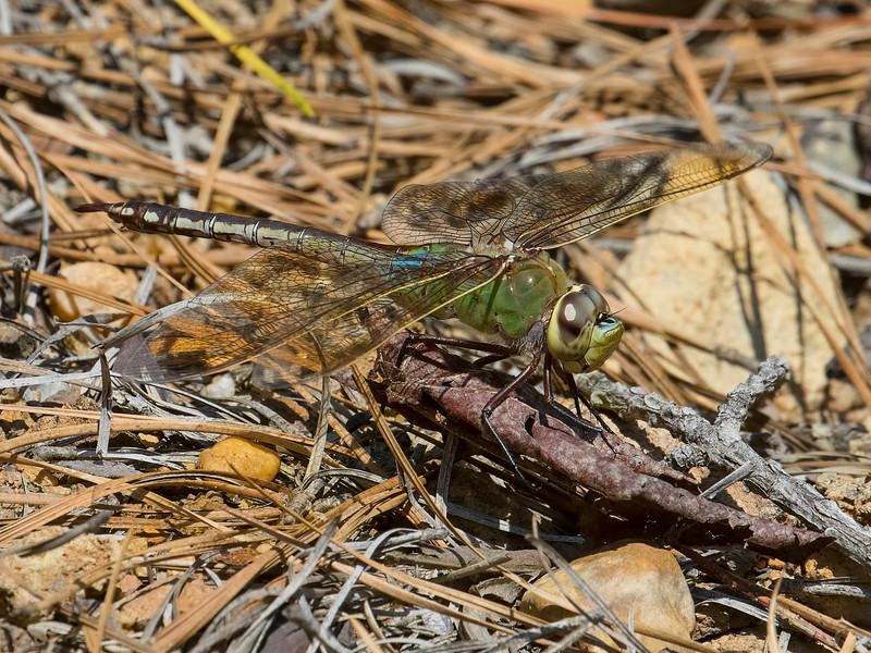Common Green Darner, immature male, Summit Bridge Ponds