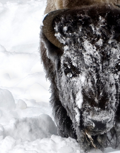 Snow BisonCrop3322.jpg