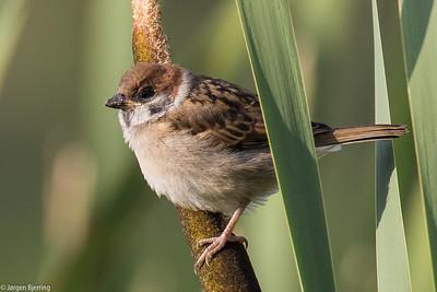 Eurasian Tree Sparrow ~ Skovspurv