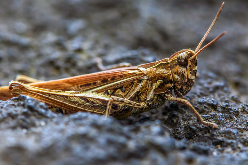 grasshopper on rock.jpg