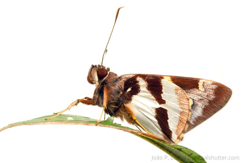 Skipper moth (Hesperiidae species) Piedade, SP, Brazil June 2012 Tropical rainforest