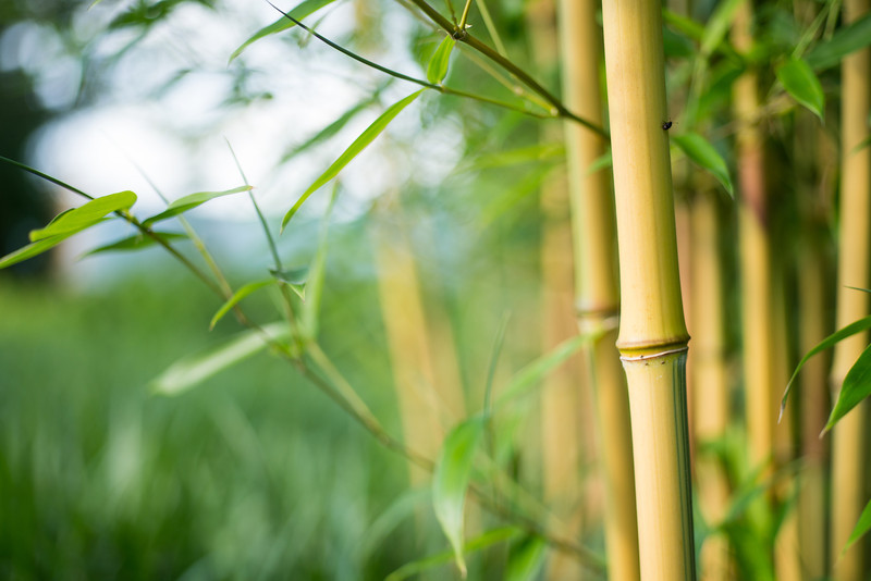 bamboo stalks by grass.jpg