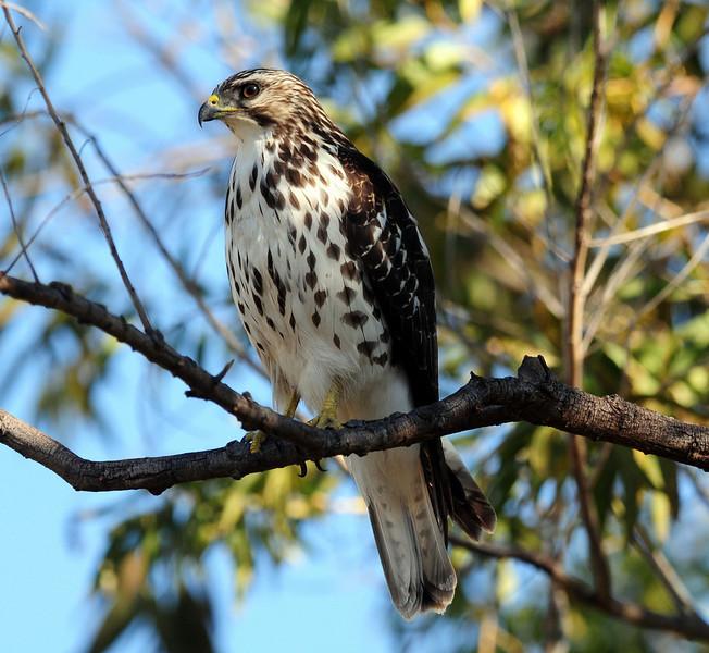 immature @ Supulveda Wildlife Area, Los Angeles County, California 12/08/2010