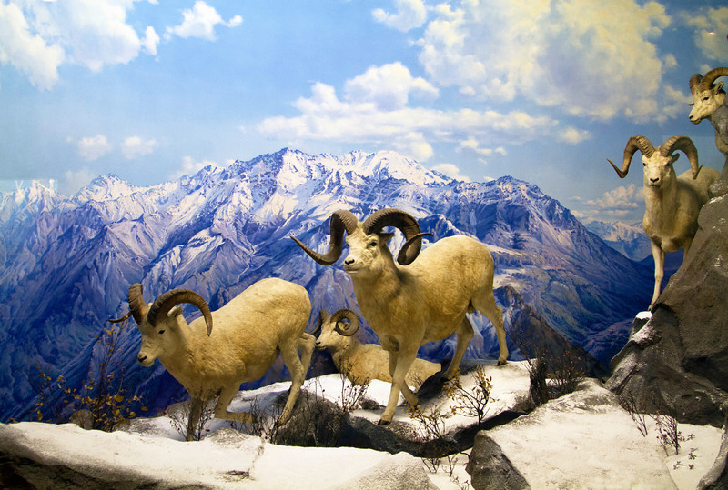Mountain goat diorama