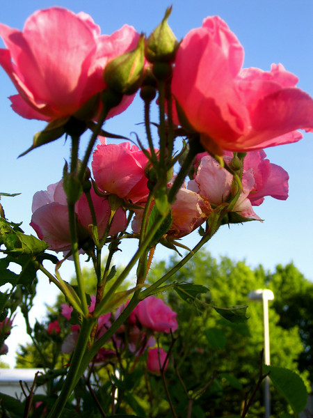 pink. growing.JPG