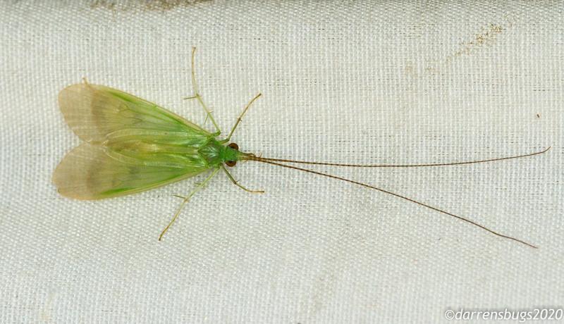 Green caddisfly (Trichoptera) from Panama.