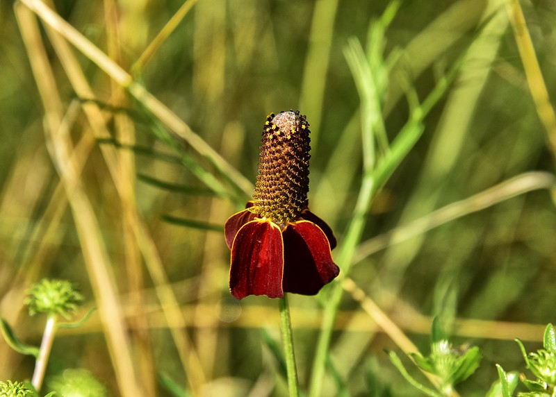 NEA_0087-7x5-Corn Flower.jpg