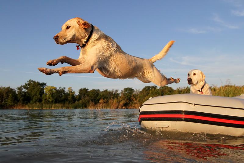 Boating Labradors.jpg