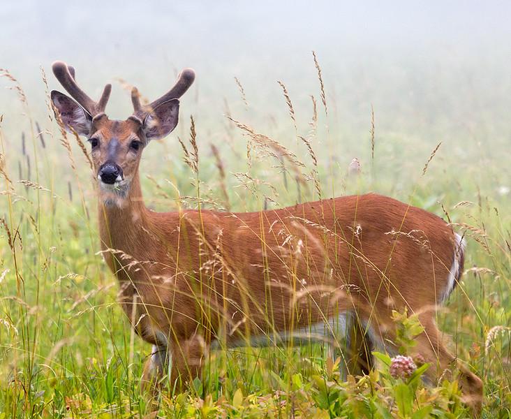 shenandoah-deer-1_19296552119_o.jpg