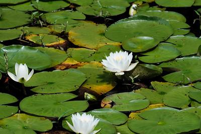 Lily Pond_July 25, 2020