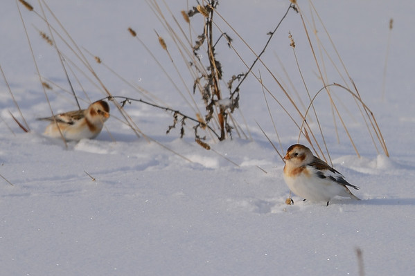 12 2013 Dec 11 Snow Buntings*^