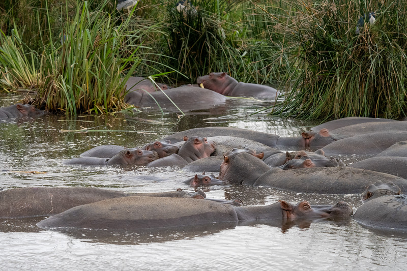 Hippos in the Ngorongoro Crater