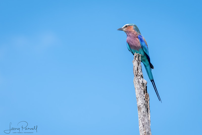 Lilac Fronted Roller - left