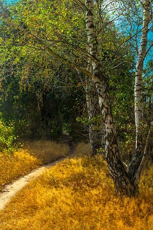 Fine Art natuur foto van een zomers wandelpad met waaiende gouden grashalmen in de wind en ivoorwitte berken langs het pad.