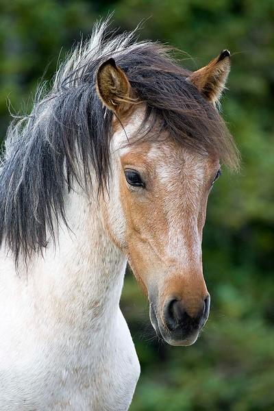 Wild Mustang in Pryor Mtn -Portrait