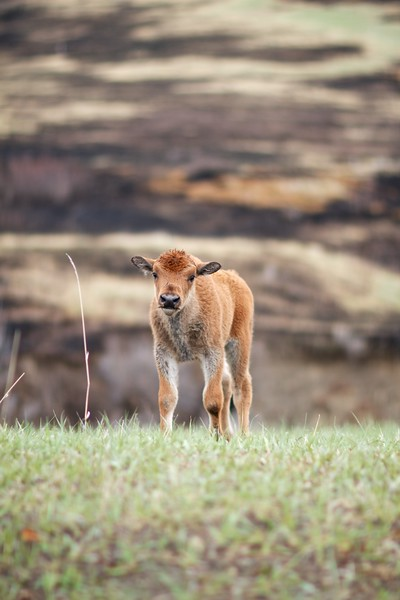 Bison Theodore Roosevelt National Park ND IMG_9416.jpg