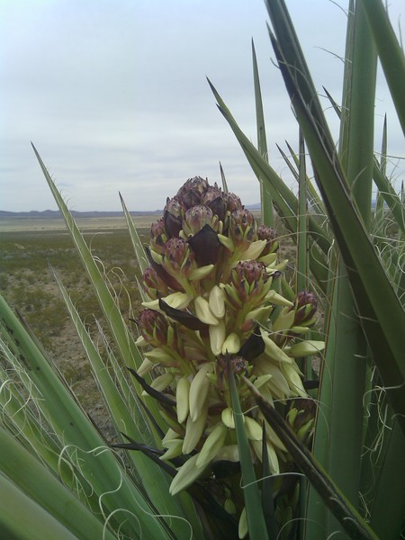 The  Beautiful Yucca Flower