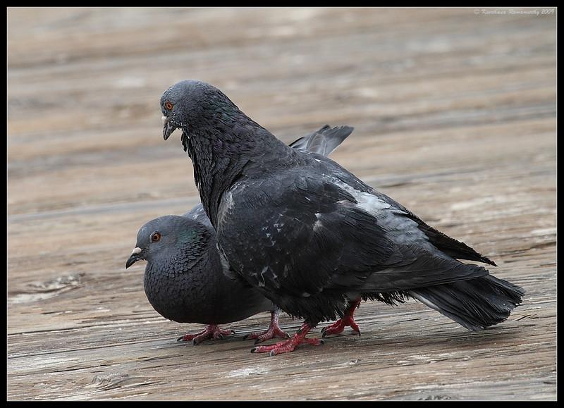 Rock Doves Mating, Coronado Ferry Landing, San Diego County, California, March 2009