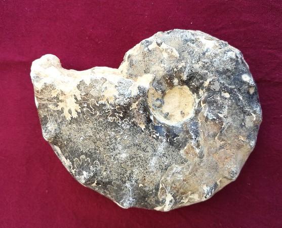 #7119 Mammites nodosoides Ammonite (11,5 cm) - Goulmina, Anti-Atlas, Morocco